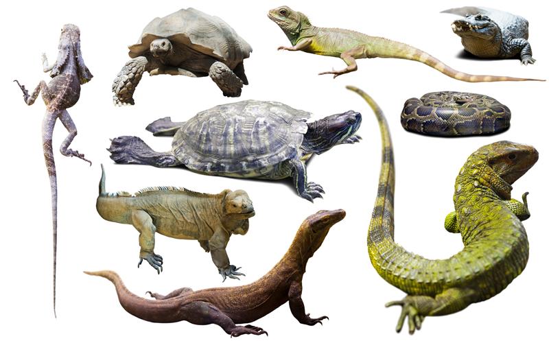 اشهر انواع الزواحف
