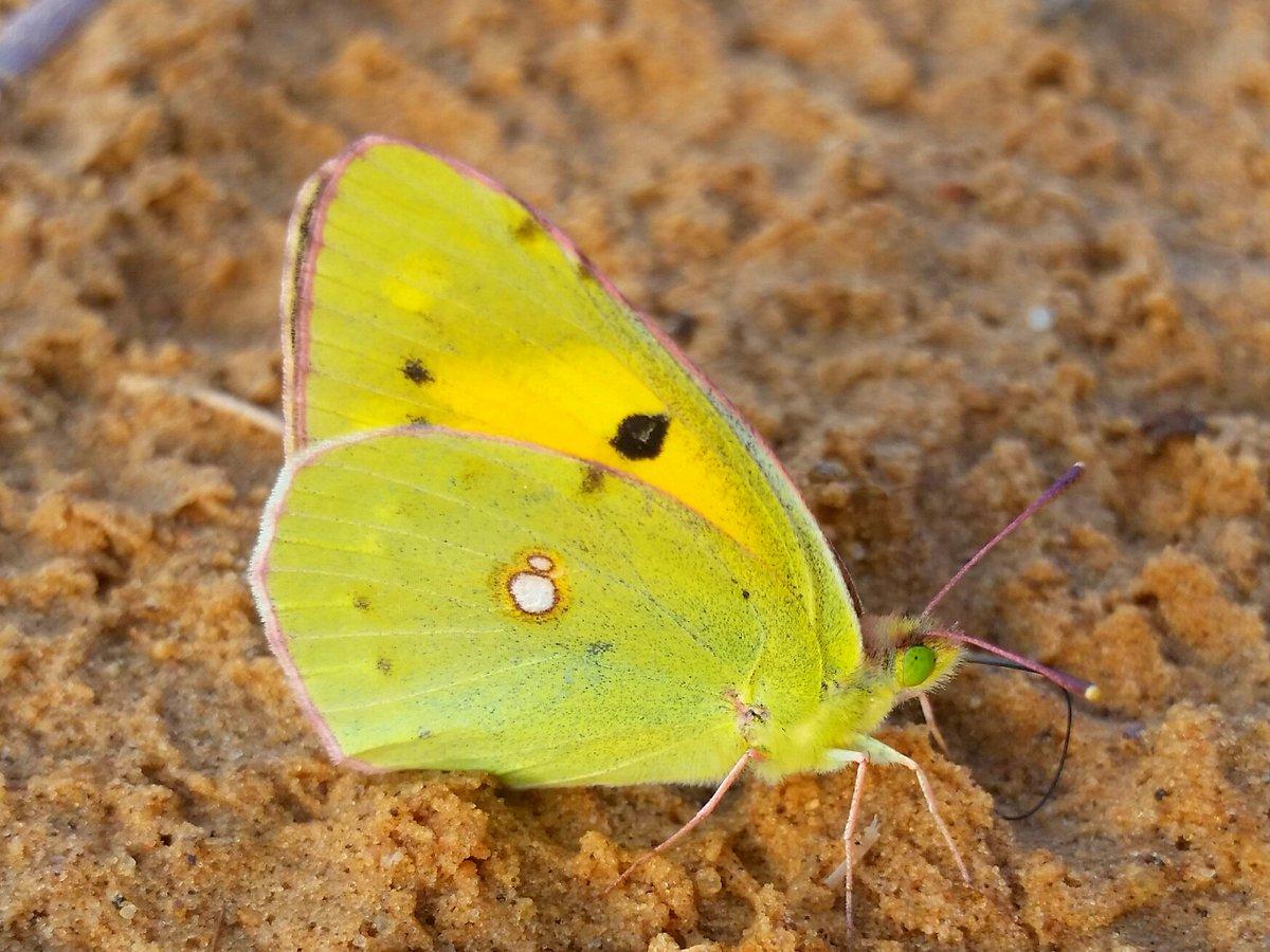 فراشة الجناح الأصفر