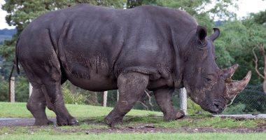 الخرتيت وحيد القرن الأسود