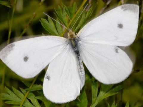 الفراشة البيضاء