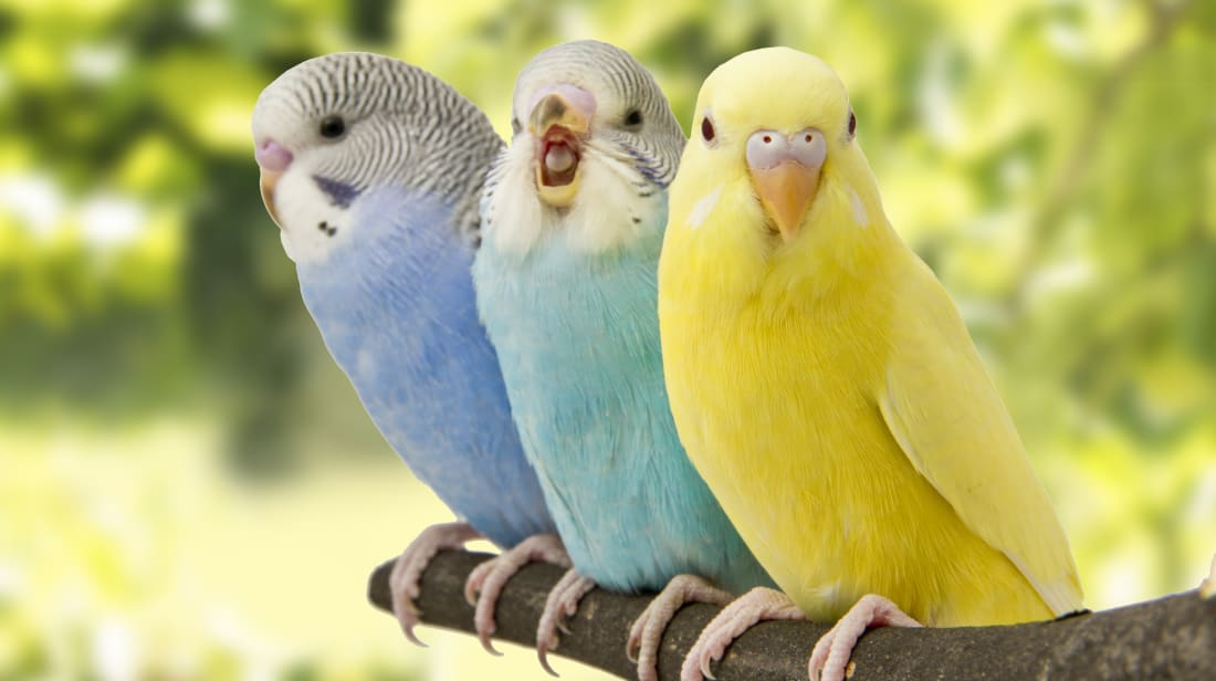 انواع العصافير