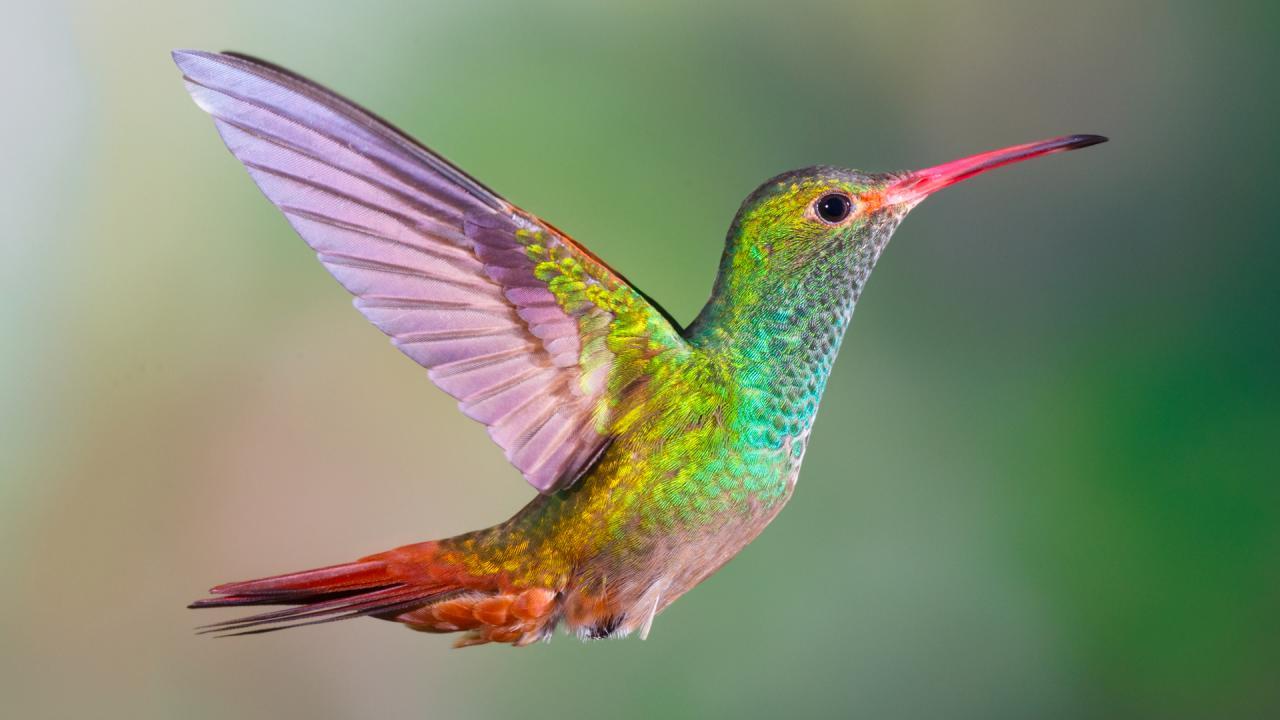 عصافير الطائر الطنان