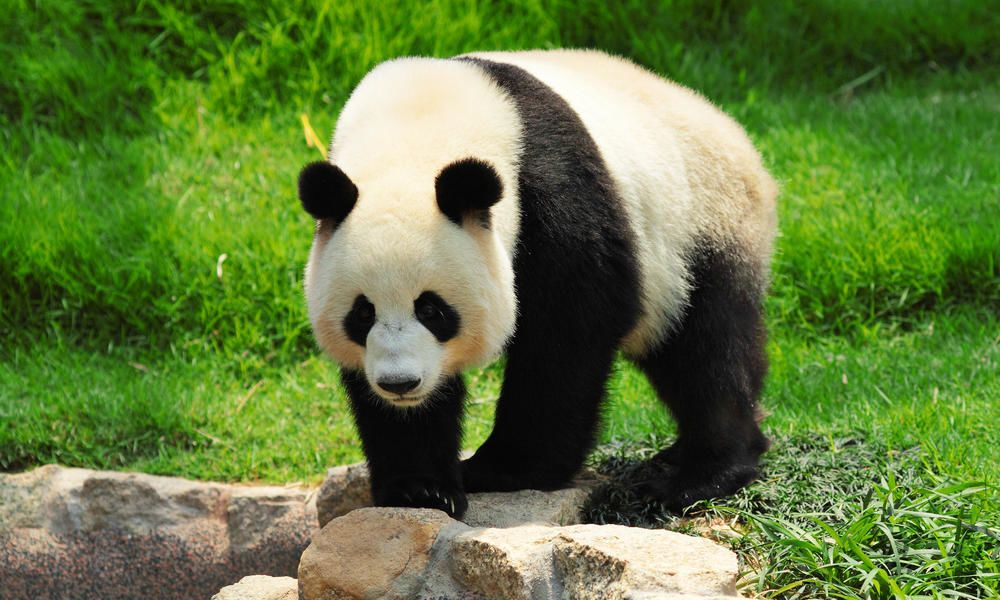 الدب الباندا