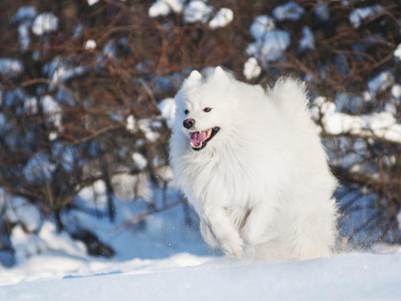 صور كلب السامويد