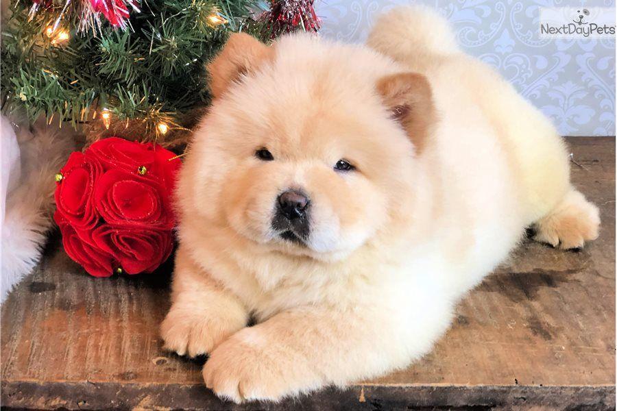 تربية كلاب التشاو تشاو