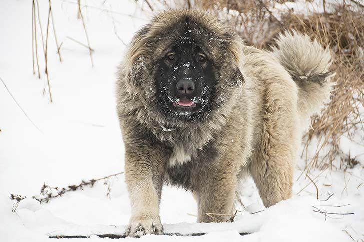 كلاب القوقازي الجبلي