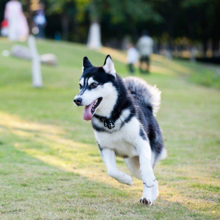 اجمل انواع الكلاب الهاسكي