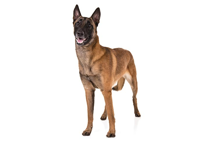 كلب مالينو الرعي الأمريكي