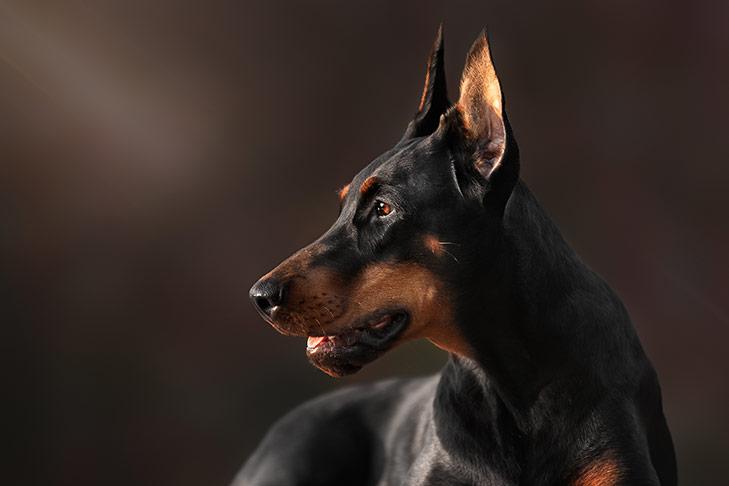 الكلاب البوليسية الكلب البوليسي
