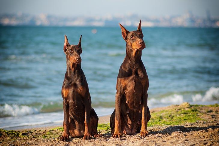 كلاب الدوبيرمان