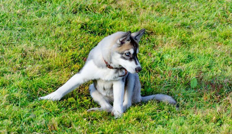 كلاب هاسكي صغير