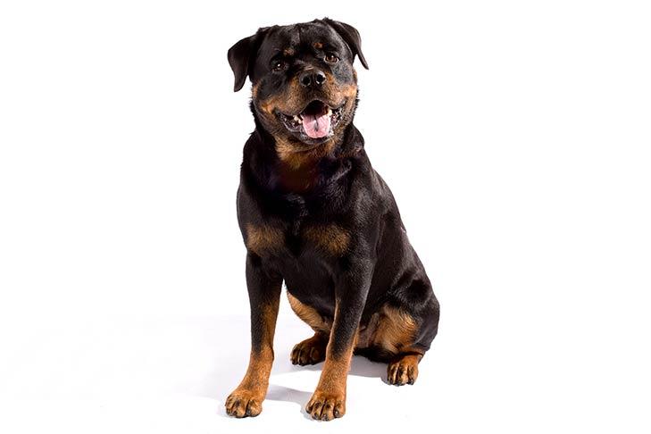 صور كلب الروت وايلر