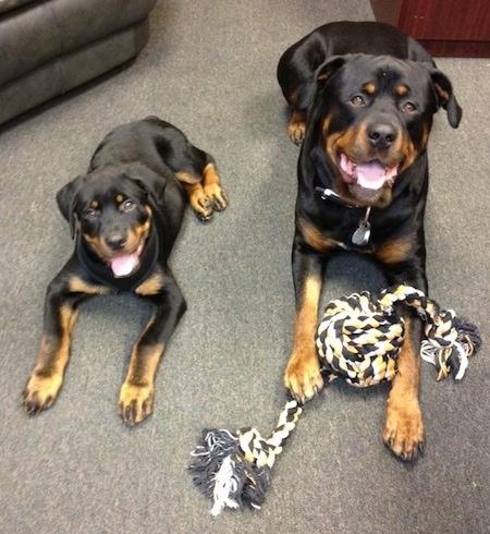 انواع كلاب الروت وايلر