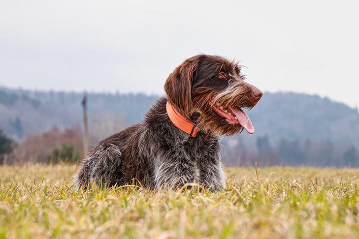 صور كلاب جريفون فرنساوى