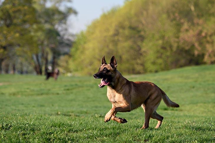 كلب مالينو الرعي البلجيكي الاصلي