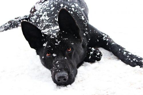 صور كلاب بلاك كود