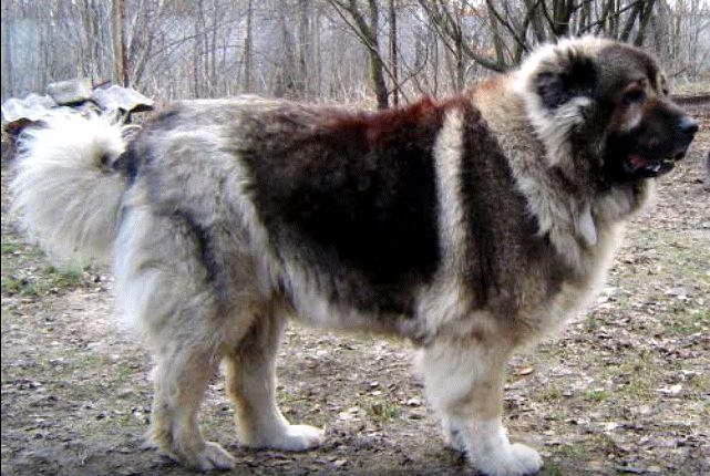 كلب القوقازي