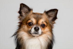 صور كلب شيواوا