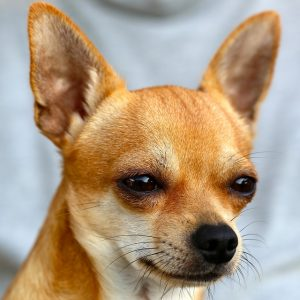 صور كلب شيواوا ناعم الفراء Smooth Coat Chihuahua