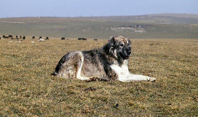 كلب الرعي القوقازي الأوفتشاركا السهلي