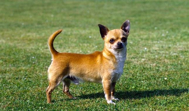 صور كلاب شيواوا