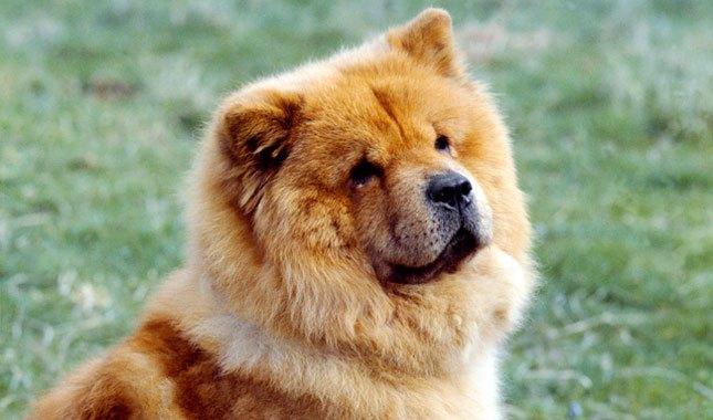 أنواع كلاب التشاو تشاو