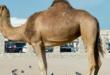 الجمل العربي