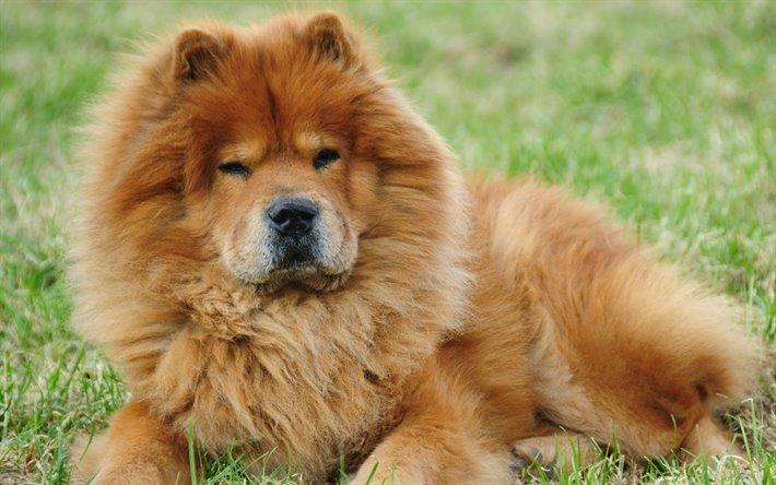 كلاب التشاو تشاو