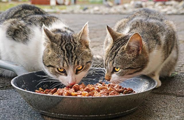 اكل القطط