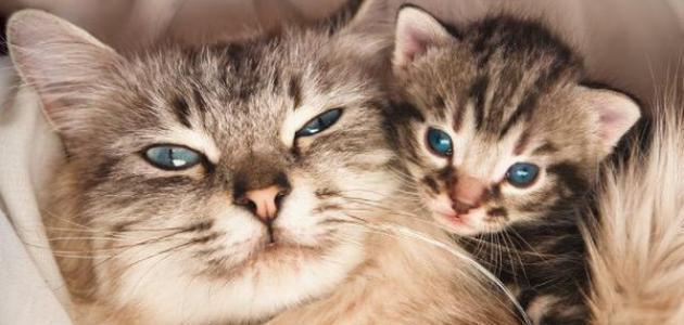 انواع القط الشيرازى - معلومات عن القط الشيرازى