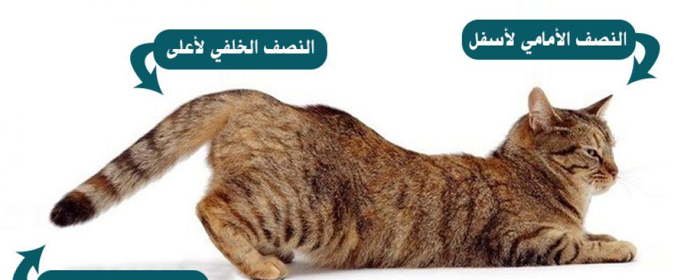 التعرف على بلوغ القطط- تزاوج القطط عن قرب