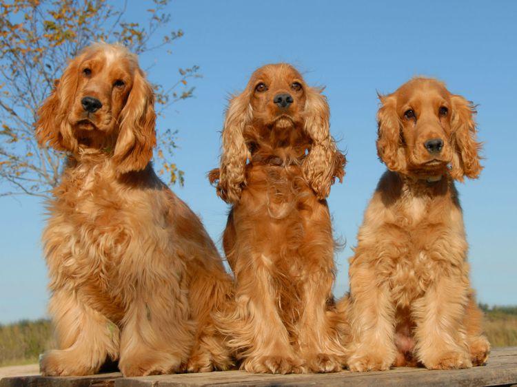 صور كلب الكوكر الاسباني البني