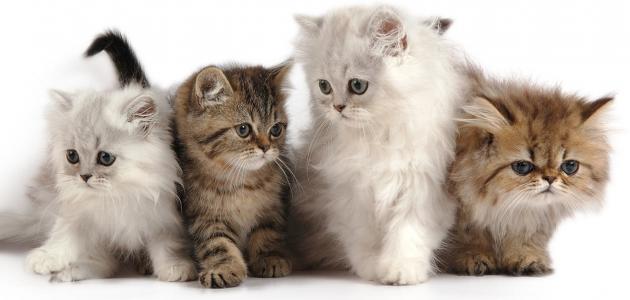 معلومات عن القطط الشيرازى