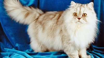 معلومات عن القط الشيرازى
