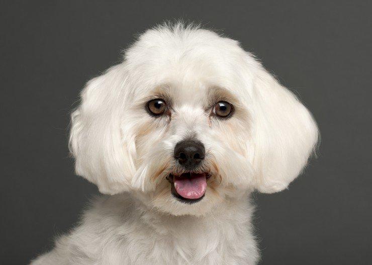 صور كلاب المالطي
