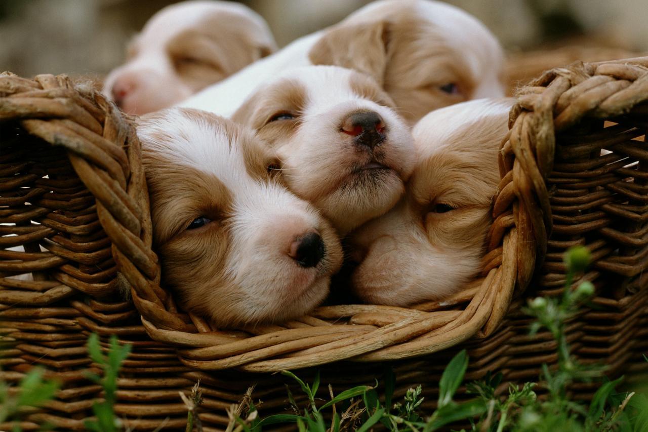 ما يجب فعلة اثناء ولادة الكلاب