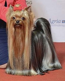 صور كلب يوركشاير تيرير الانجليزي