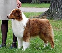 صور كلب الرعي الاسترالي