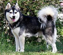 صور كلب ألاسكا كلي كاي