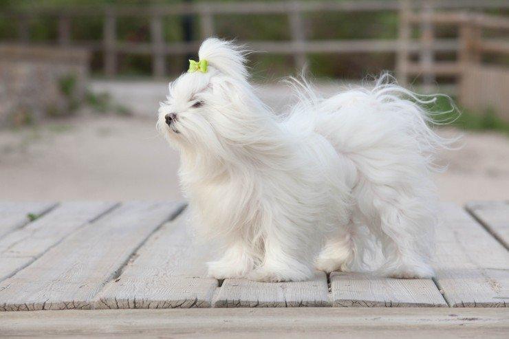 كلب المالطي او الكلب الرومي