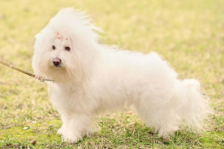 صور كلب بولونيز