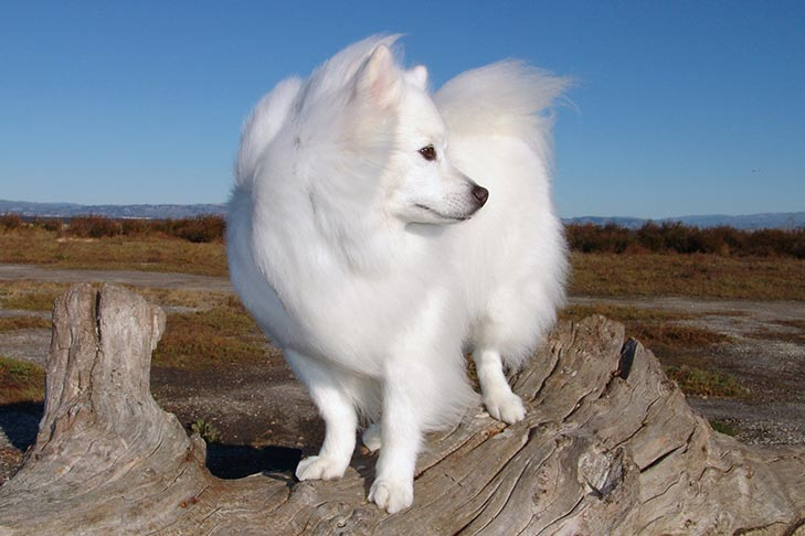 صور كلب الاسكيمو الامريكي