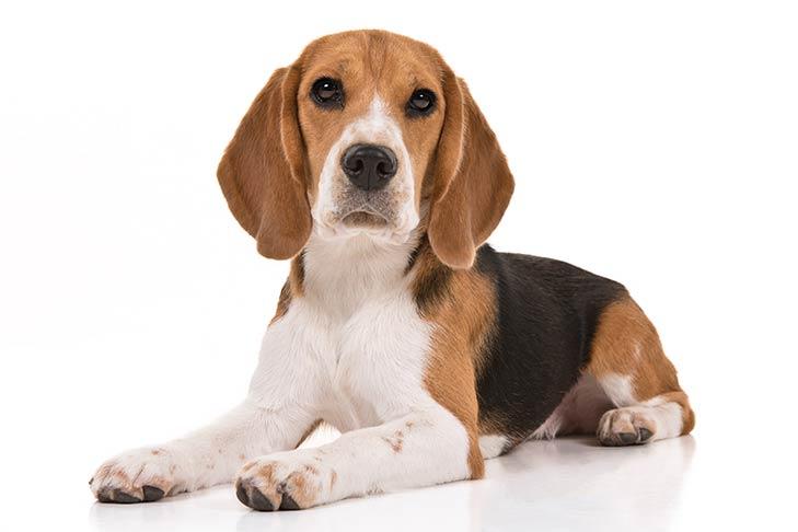 صور كلب بيجل الانجليزي