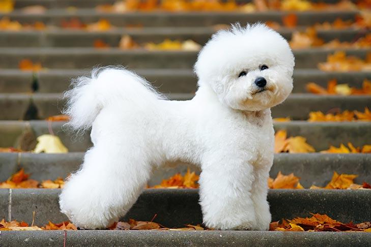 صور كلب بيشون فريز