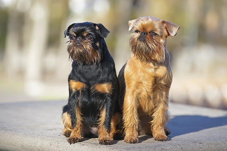 صور كلب غريفون بروكسيليس