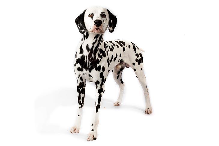 صور كلب الدلماسي / معروف بـكلب الاطفاء