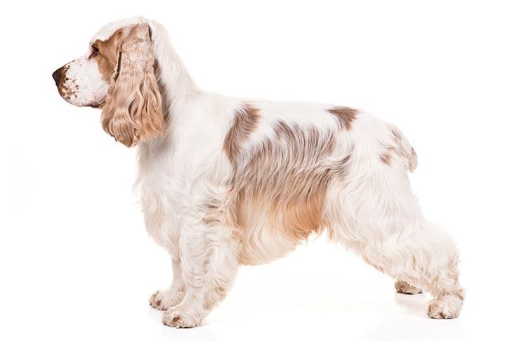 كلب الكوكر الاسباني الابيض