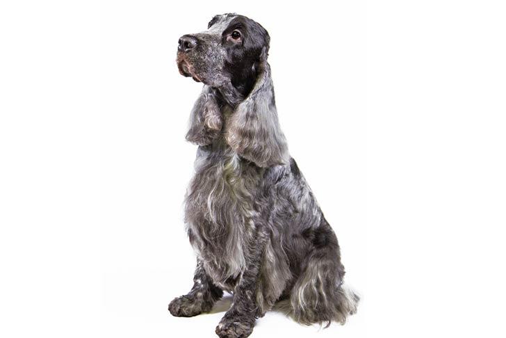 صور كلب الكوكر الاسباني الاسود