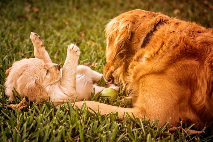 فترة حمل الكلاب