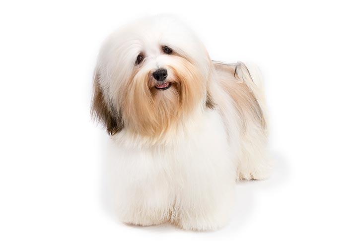 صور كلب هافاني